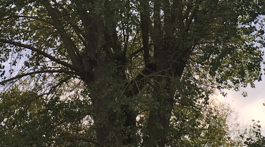 The Wind in the,Poplars?